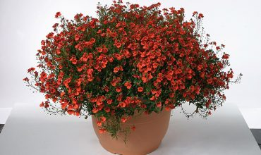 diascia juliet orange