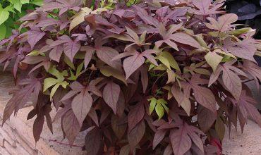 Les plantes retombantes - Plante retombante pour balcon ...