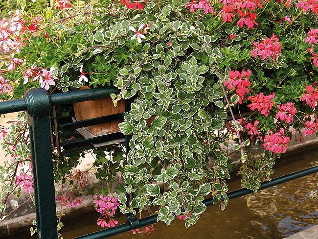 Les plantes retombantes barbaux fleurs for Plantes vertes retombantes