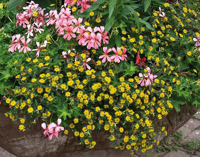 Les plantes retombantes barbaux fleurs for Plante retombante