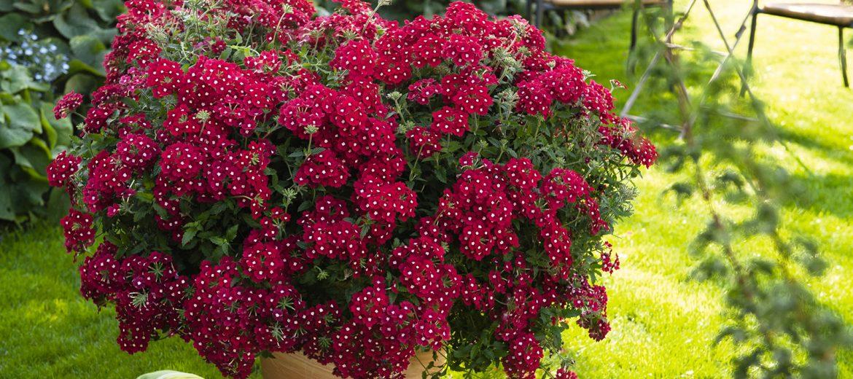 plantes vivaces retombantes good plantes retombantes fleurs vivaces pau decor surprenant paul. Black Bedroom Furniture Sets. Home Design Ideas