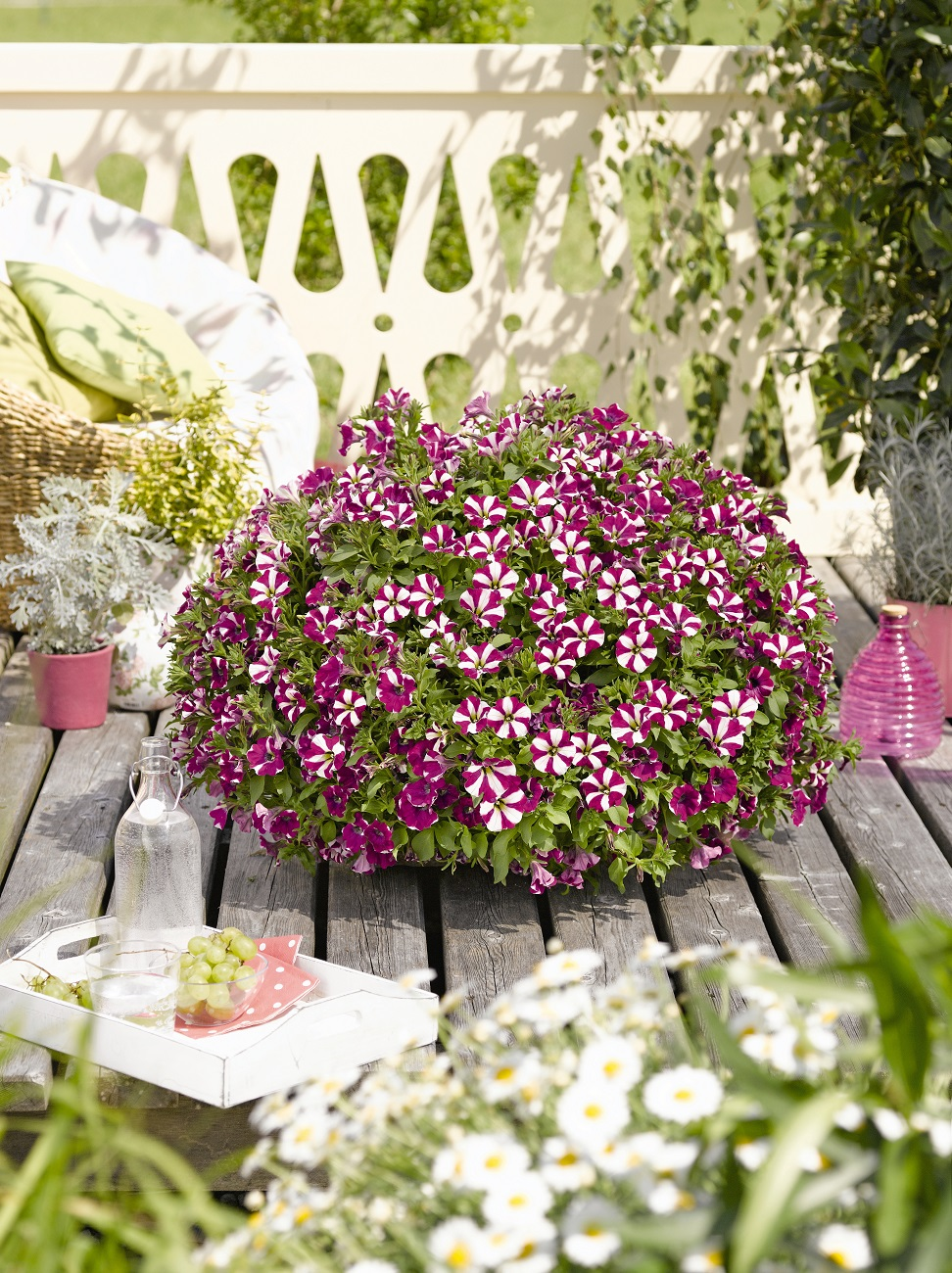 nouveau petunia retombant bicolore barbaux fleurs. Black Bedroom Furniture Sets. Home Design Ideas