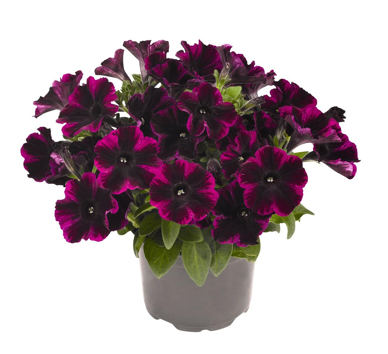 johnny flame nouveau petunia retombant barbaux fleurs. Black Bedroom Furniture Sets. Home Design Ideas