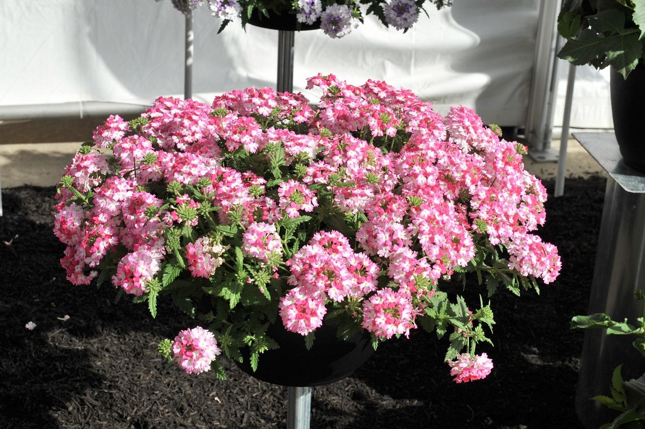 plantes retombantes fleurs vivaces accueil design et mobilier