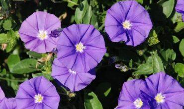 Fleurs annuelles bleues retombantes - Fleur en forme de trompette ...