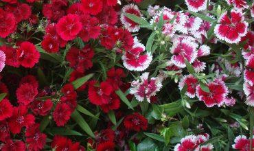 Barbaux fleurs plantes vivaces pour massifs rocailles jardin - Oeillet de chine ...