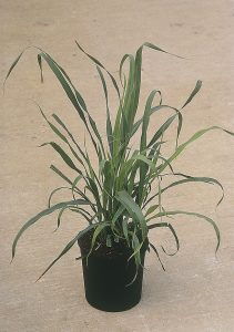 Citronelle (Lemon Grass Citratus)