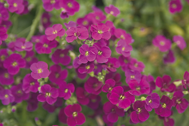 aubriette gracilis kitte rose