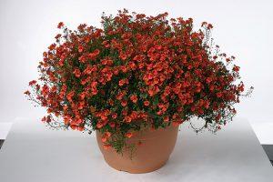 diascia juliet orange