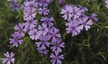 phlox subulata emerald cushion blue
