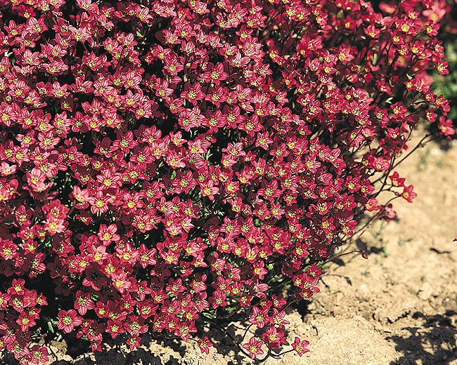 saxifrage carpet purple