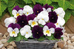 viola corn sorbet mix blackberry sundae