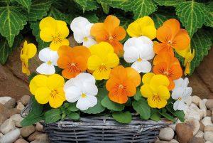 Viola corn sorbet mix citrus