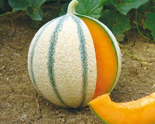 melon charentais anasta