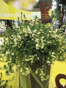 scaevola yellow