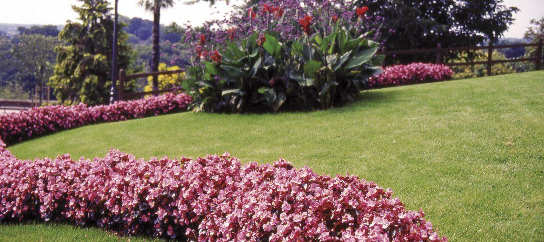 BEGONIA PLANTE A MASSIF
