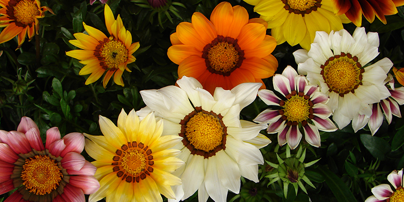 Les plantes annuelles de Barbaux, semis, plants, boutures, fleurs