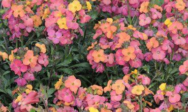 Barbaux fleurs, plantes vivaces pour massifs, rocailles jardin