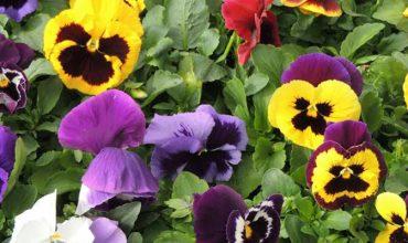 Plantes Bisannuelles Saison Automne Hiver De Barbaux Fleurs